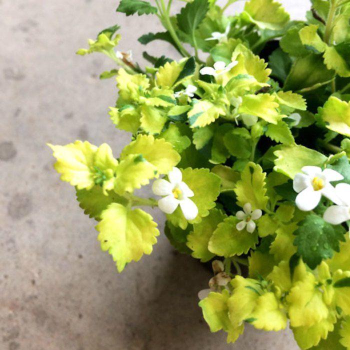 。【D】斑入りバコパ(ステラ) 白花2.5号ポット苗
