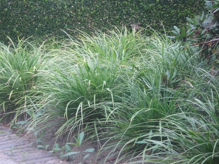 bont zegge carex morrowii variegata garden plants. Black Bedroom Furniture Sets. Home Design Ideas