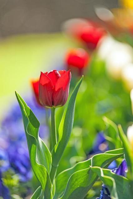 Sắc màu hoa Tulip....... - Page 12 - Chút lưu lại