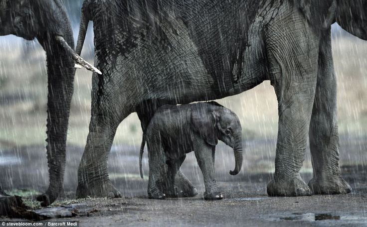 """Mum-brella: A baby elephant shelters from a storm beneath its mother in one of Steve Bloom's remarkable pictures""  [Photographer ~Steve Bloom~]~[The pictures are featured in his book 'My Favourite Animal Families']~[Read more:http://www.dailymail.co.uk/news/article-1300559/Animal-family-album-The-incredible-touching-photos-parental-love-universal.html#]  'h4d' 120909"