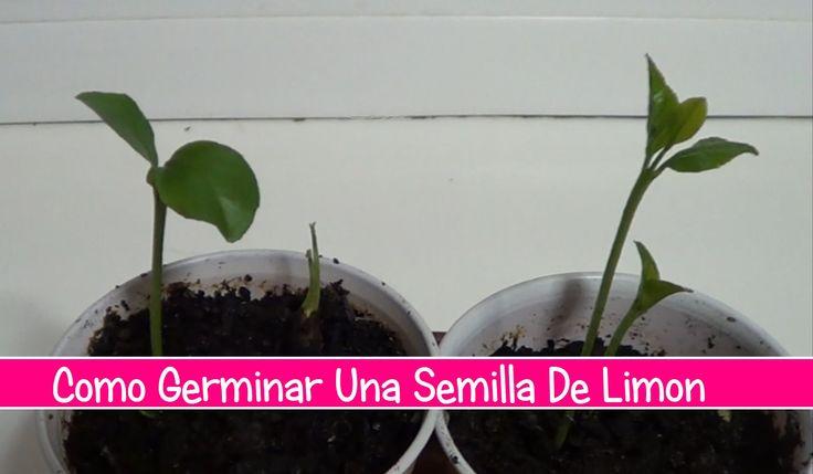 como germinar una semilla de limón de forma sencilla para tener