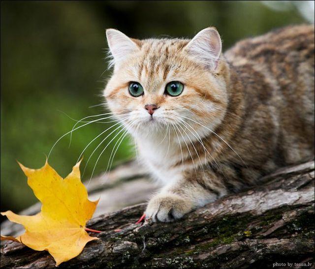 ~ British Shorthair Cat ~