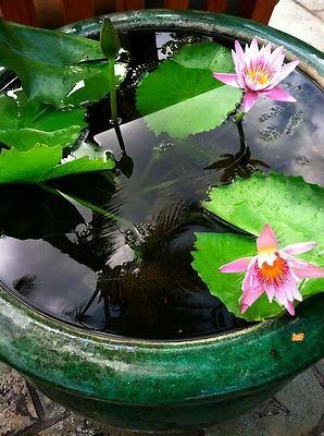 8 best images about aquatic lilies on pinterest gardens for Fish pond fertilization