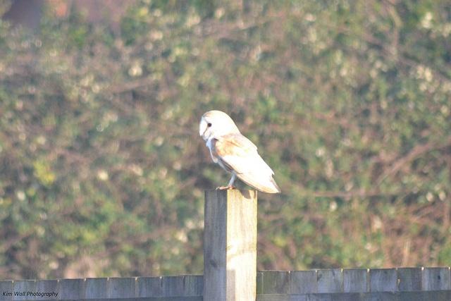 Barn Owl sat outside my window :)