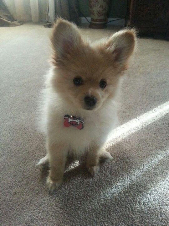 Maltese Chihuahua Pomeranian Mix Puppies
