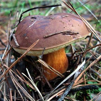 Гриб поддубник (поддубовик) обыкновенный: фото и описание, как выглядит гриб дубовик, лечебные свойства
