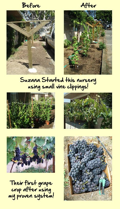 Best 25 grape vine plant ideas on pinterest grape vines for Table grapes zone 6