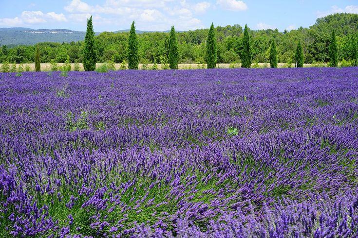 Lavendel Hidcote Blue  - Lavandula angustifolia Hidcote Blue günstig online kaufen #Lavendel #Staude #Schön #Blau #Lavandula #Natur #Garten #Pflanze #pflanzen #Gestaltung #Ideen #Inspiration
