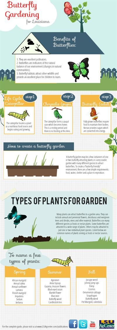 Infographic On Butterfly Gardening. Note: U0027Hidcoteu0027 Lavender Hedges Will  Also Attract Butterflies