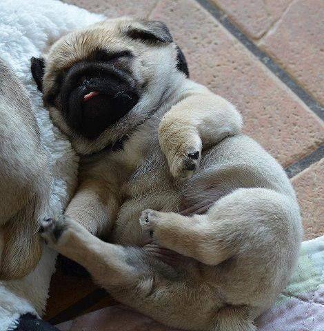 仰向けで眠る子犬パグ