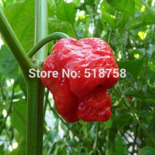 100 СЕМЕНА-100% Натуральная Свежие Редкие тринидад Моруга Скорпион перец Семена (чили) органические Семена Овощных Культур * Бесплатная Доставка