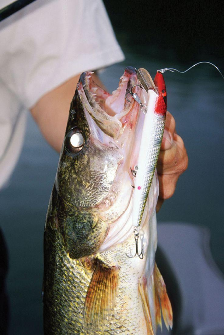 Freshwater fish jobs winnipeg - Catching Spring Walleye Game Fish