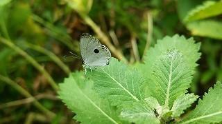 ファーブル伊藤の生き物日記ツシマウラボシシジミの生息域外保全を行なっています
