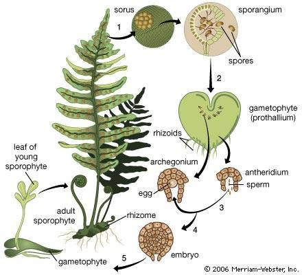 Fern life cycle shows the alternating generations.