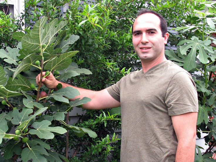 Bassem Samaan, of Bethlehem, Pa., shows off one of many rare fig varieties in his garden. - We CAN grow figs in Pennsylvania. Score!