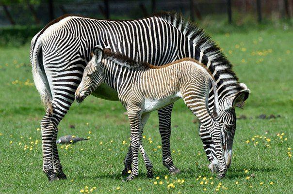 На самом деле зебра — чёрная в белую полоску, а не наоборот. Так как чёрные полосы обуславливаются генетическим процессом селективной пигментации (наличием пигмента), следовательно, чёрный цвет — основной пигмент, а белые полосы являются его отсутствием.