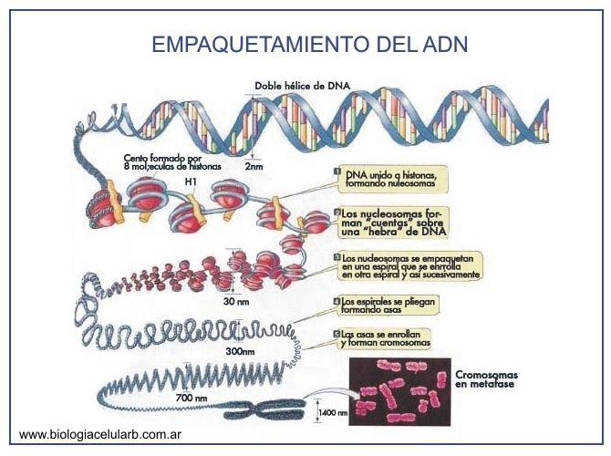 Empaquetamiento del ADN