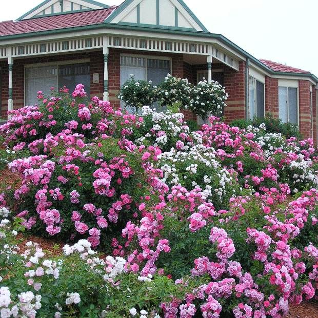 "Mixed varieties of easy care Flower Carpet roses are ideal on a hard-to-maintain slope.  The original ""eco-rose""!"