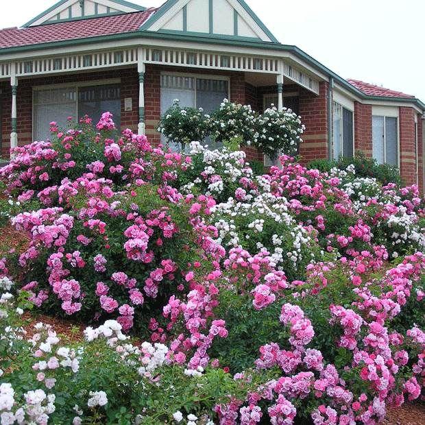 Garden Design With Carpet Roses Vidalondon