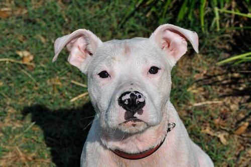 Pitbull Boxer Mix Lifespan