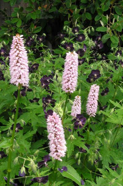 Persicaria bistorta 'Superba' is brilliantly highlighted by the deep, royal purple of the Geranium phaeum 'Lily Lovell'.