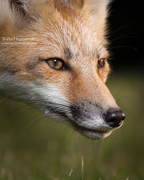 136 best Fox face images on Pinterest Red tail fox, Foxes and Red fox - best of coloring page of a red fox