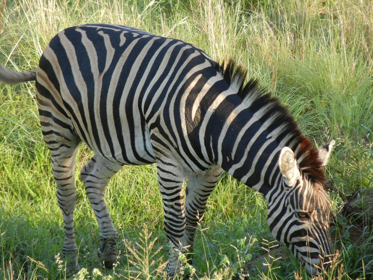 The beauty of zebras.