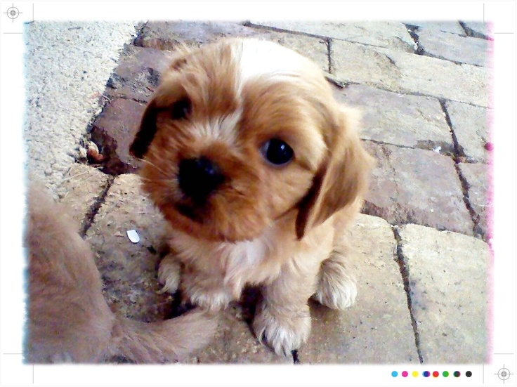 Our puppy, she's a King Charles cavalier X Maltese shih