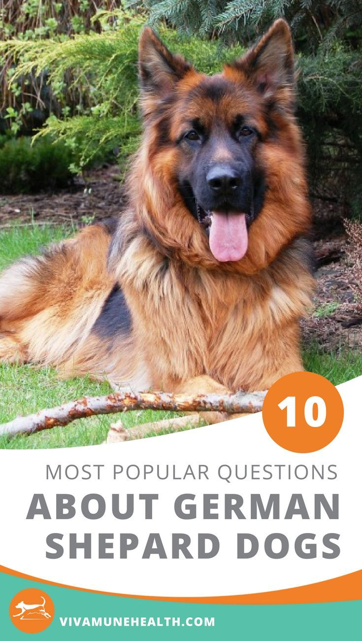 Your 10 Most In style Questions on German Shepherd Canine