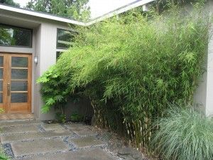 For the backyard: Fargesia rufa 'Oprins Selection' Green Panda™ (non-invasive, cold-hardy clumping bamboo; Zones 5-9)