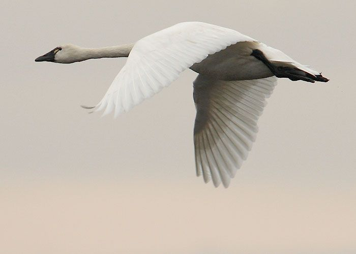 flying swan pictures | picture 2 flying tundra swan