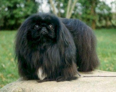 152 Best Images About Hunde Mini S On Pinterest Teacup