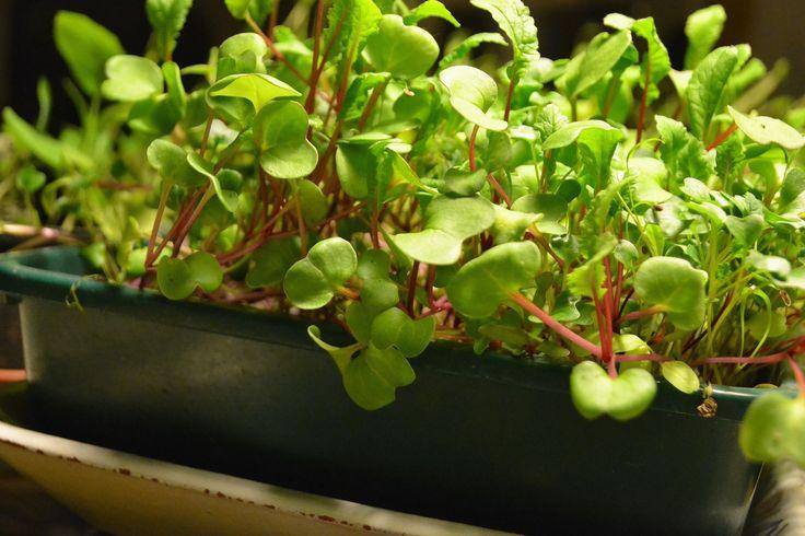Det är gott att blanda fröer i trågen och gärna kombinera en mild bladgrönsak med en pepprig och kanske också en krydda. Det får smaklökarna att haja till!