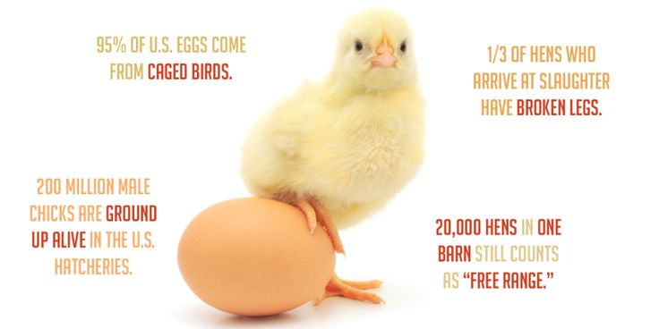 You Will Never Eat Eggs Again After Reading This. Every egg is a child to such brutality and violence that infusing ones body with it can never result in happiness. Energy does not vanish- it merely changes its form. That's physics not ethics.