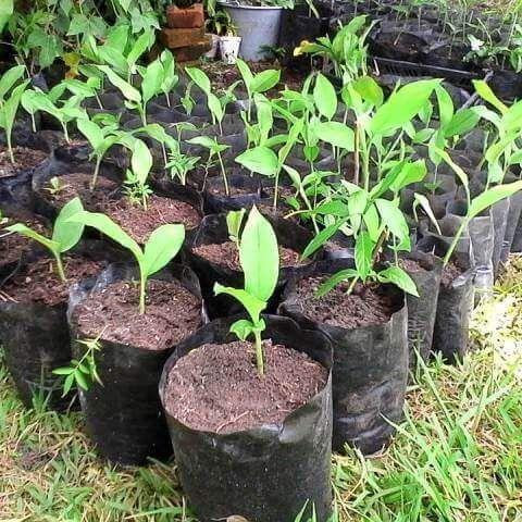 Curcuma Longa, Planta