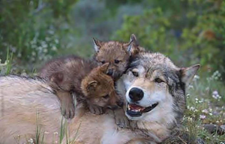She looks so happy! Wolf Mother and her pups, posted via The Viking Warriors, via Facebook.com