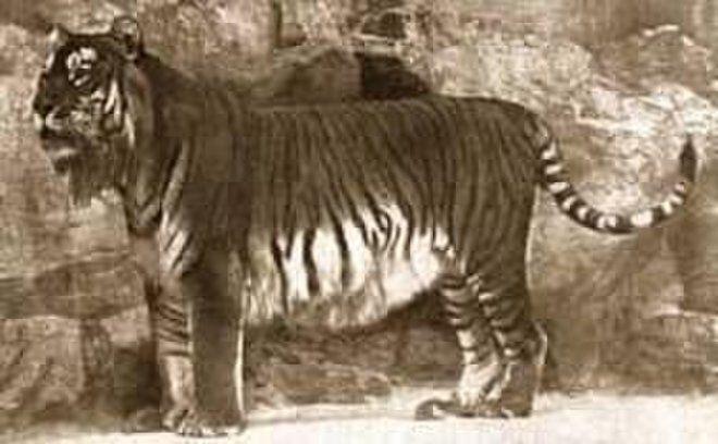 Caspian tiger (Panthera tigris virgata) - EXTINCT