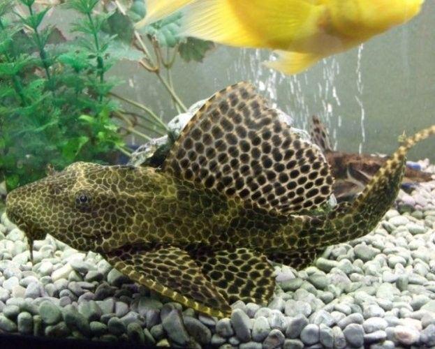 Hypostomus plecostomus / algeneter | Aquarium vissen database | gdaquarium