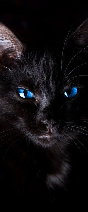 Magnificent black cat with striking blue eyes |