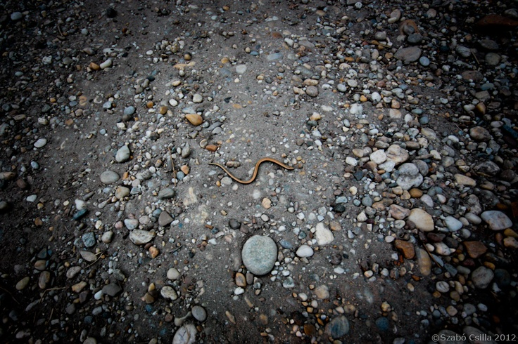 kígyóka. little #snake