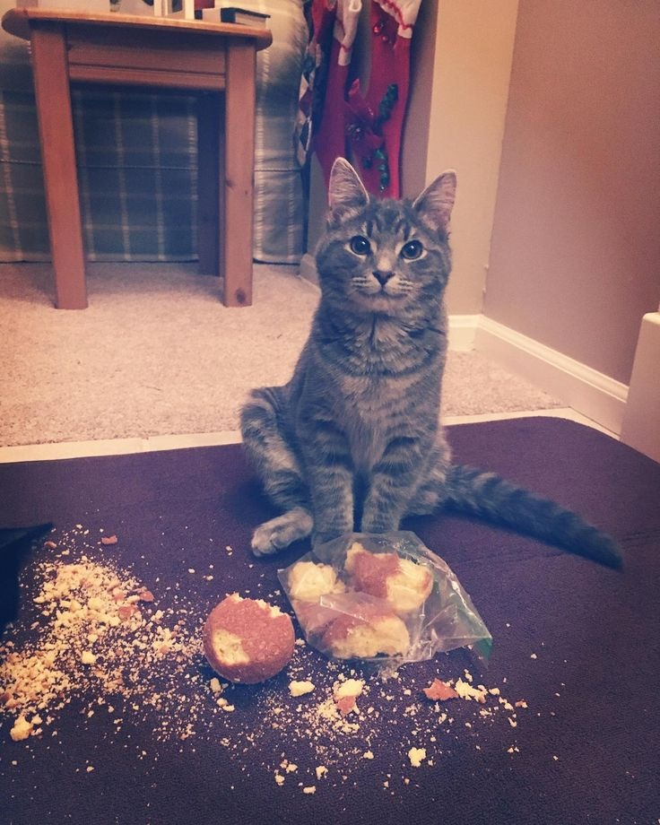 When mom turns her back and you steal the leftover corn muffins from dinner by hazeleyedsummer cats kitten catsonweb cute adorable funny sleepy animals nature kitty cutie ca