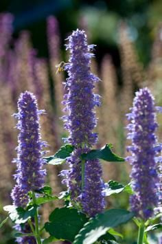 Hyssop (Hyssopus Officinalis) - Associations: Jupiter, Cancer, Sagittarius - Bee attractor extrordinaire, Hyssop is a classic garden herb that has fallen to the wayside in modern years. Used for cleansing and purification, as well as known to lend strong protection to magickal Work, Hyssop is believed to repel negative energies. Also well-known to be a Faery magnet and immensely useful for healing Work.
