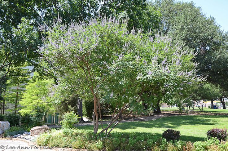 Texas am engineers the perfect flowering summer tree for Fast growing drought tolerant trees