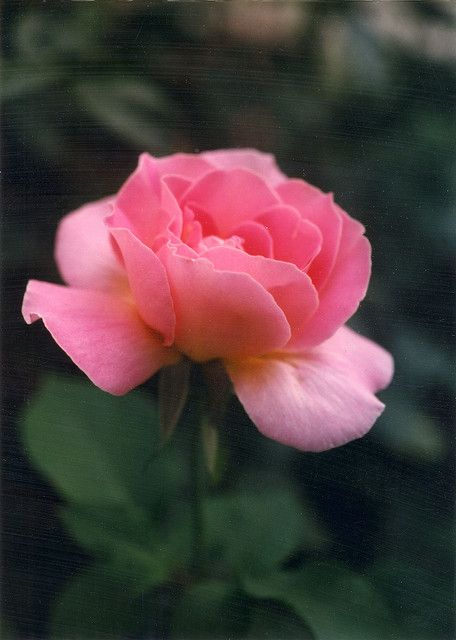 Tiffany Rose WAIT!!! I HAVE A ROSE WITH MY NAME??? Silly rose, you can't have my name XD
