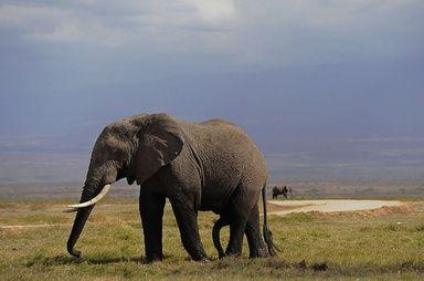 アフリカゾウ、人間の言語を聞き分けている可能性 写真1枚 国際ニュース:AFPBB News