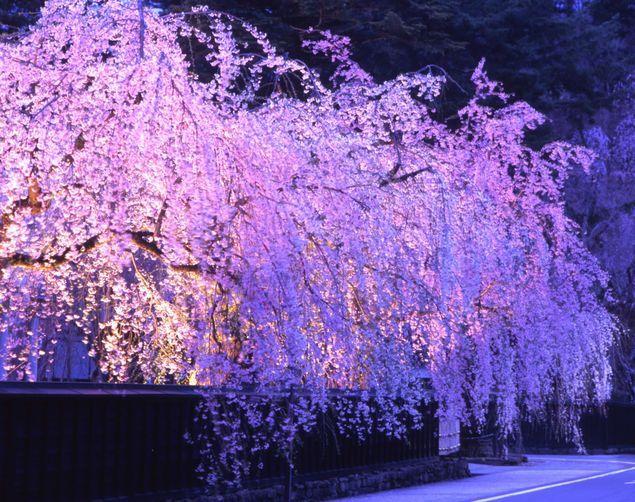武家屋敷のシダレザクラの桜