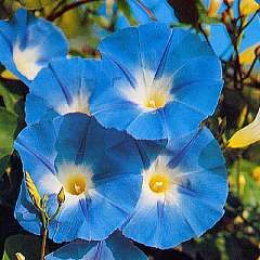 Love Morning Glories!