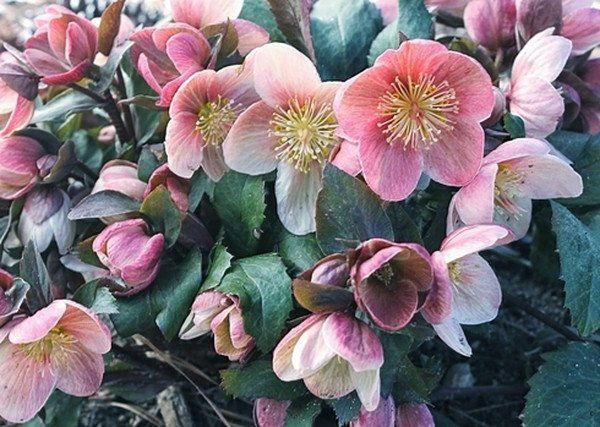 54 best wintervery early spring to march blooming plants images helleborus x ballardiae hgc pink frost pp 21063 mightylinksfo