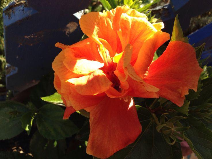 Hibiscus naranjo