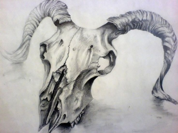 Sheep Skull Drawing